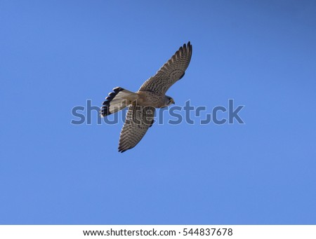 Falcon Common Kestrel / Falco tinnunculus