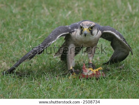 Falcon covering its meal