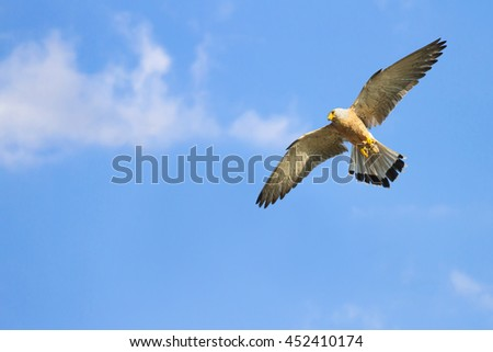 falcon flying on blue sky background Lesser Kestrel - stock photo