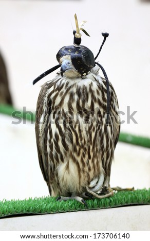 Falcon for sale in Souq Waqif, Doha, Qatar, Middle East - stock photo