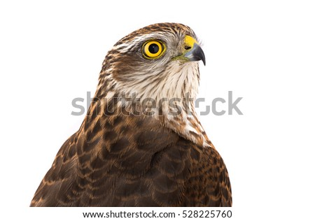 falcon isolated on a white background