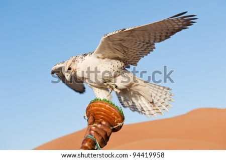 Falcon on a leash in desert - stock photo