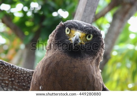 Falcon Peregrine Close up, and soft-focus blurred background - stock photo