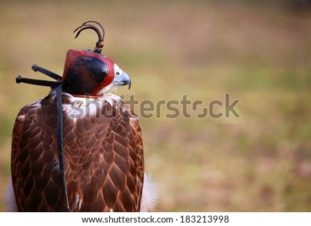 falcon peregrine, falco peregrinus  - stock photo