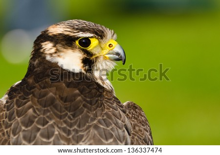 Falcon / Portrait of Peregrine Falcon (falco peregrinus) from behind - stock photo