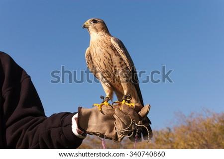 Falconer with Peregrine Falcon crossbred with a Prarie Falcon and Gyrfalcon mix sitting on gloved hand of handler  - stock photo