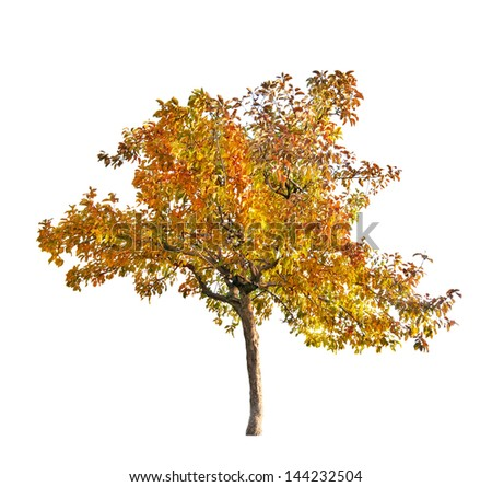 fall apple-tree isolated on white background