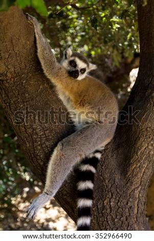 Fall asleep on a tree lemur (vertical), Ring-tailed Lemur (Lemur catta) - stock photo