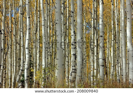 Fall aspen tree background, Utah, USA. - stock photo