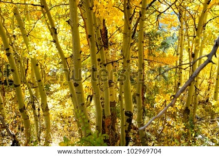 Fall Aspen trees with yellow leaves filtering the sunlight and creating a yellow color to the scene