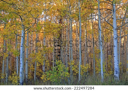 Fall aspens in the Utah mountains, USA. - stock photo