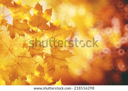 Fall, autumn, leaves backgroung. A tree branch with autumn leaves of a maple on a blurred background