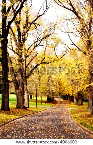 Fall colors ~ golden elm trees in a city park, with a winding road leading the way.