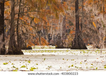 Fall colors of Water Tupelo, Nyssa aquatica, and Cypress tree, Taxodium distichum, in Merchants Millpond State Park, North Carolina, NC, USA