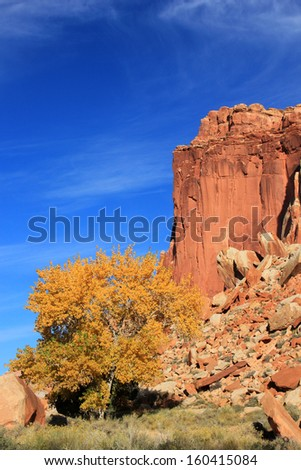 Fall colors on a cottonwood tree in Capitol Reef National Park, Utah, USA. - stock photo