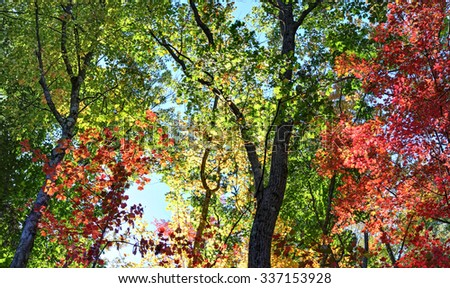 Fall forest leaves back-lit by the sun glow as the light hits  - stock photo