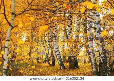 fall golden birch grove - stock photo