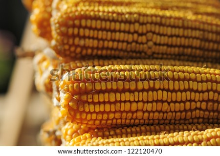 Fall harvest season. After the farmer's hard work, they get a golden harvest of corn. The picture shows the harvest of corn cobs.