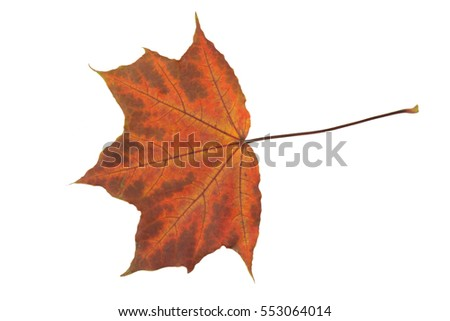 Fall leaf isolated on a white background. Herbarium series.