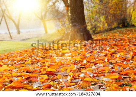 Fall leaves in the autumn tree in the park - stock photo