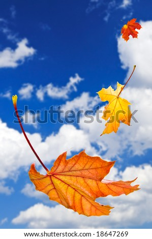 Fall maple leaves falling on blue sky background - stock photo