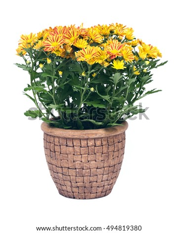 Potted Mums Stock Images Royalty Free Images Vectors Shutterstock