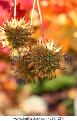 Fall nuts surrounded by brilliant foliage - stock photo