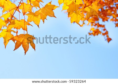fall yellow maple leaves in the blue sky - stock photo