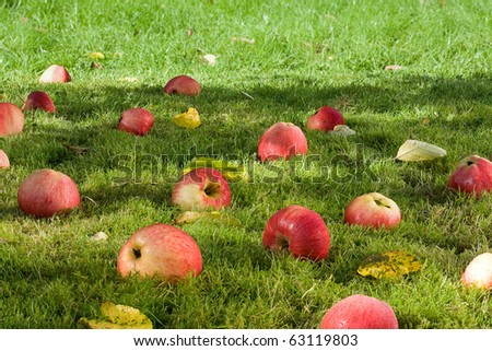 Fallen appless in the garden. - stock photo