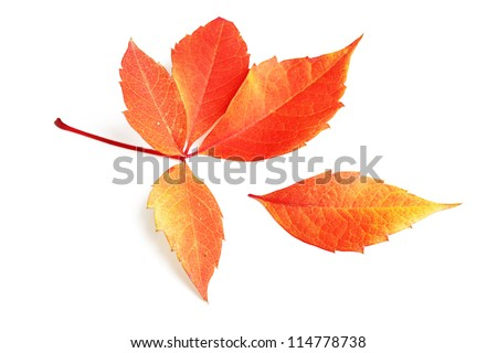Fallen autumn leaf on a white background. - stock photo