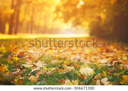 fallen autumn leaves on grass in sunny morning light, toned photo - stock photo