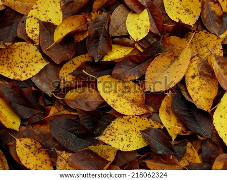 fallen autumnal leaves from cherry tree - stock photo