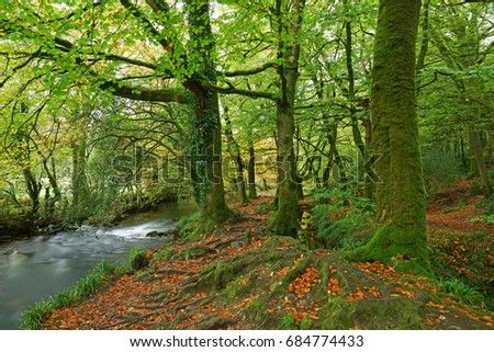 Fallen Beech leaves on the banks of the River Fowey as it flows though Draynes Wood in Autumn at Golitha Falls National Nature Reserve, Bodmin Moor, Cornwall, England, UK