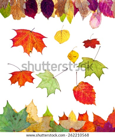 fallen birch aspen maple and other autumn leaves isolated on white background - stock photo