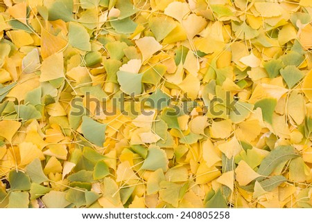 Fallen colorful ginkgo leaves on the ground - stock photo