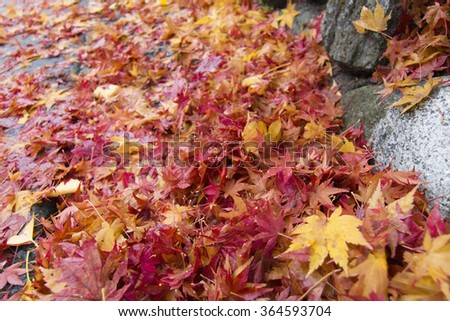 Fallen colorful maple leaves on the ground