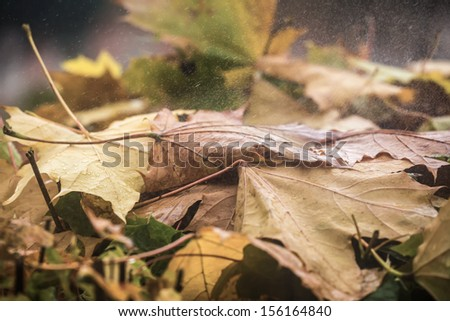 Fallen down leaves of a maple on which the rain drips - stock photo