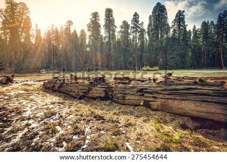 Fallen Giant Sequoia in the Meadow, Sequoia National Park, California  - stock photo