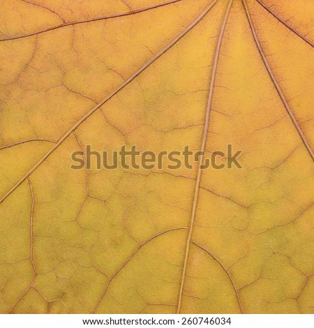 Fallen golden yellow maple leaf texture pattern, autumn fall grunge vintage herbarium abstract background, large detailed grungy textured vivid copy space macro closeup - stock photo