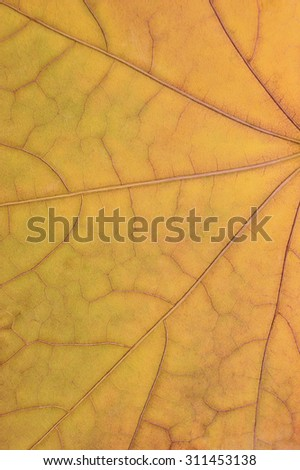 Fallen golden yellow maple leaf texture pattern, autumn fall grunge vintage herbarium abstract background, large detailed vertical grungy textured vivid copy space macro closeup - stock photo