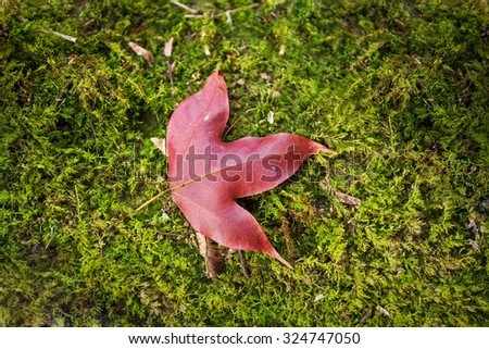 Fallen Japanese Red Maple Leaf (Acer palmatum) on Grass