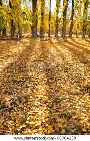 Fallen leaves/Beautiful yellow, shadow & fallen leaves.