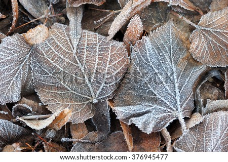 Fallen leaves covered with frost