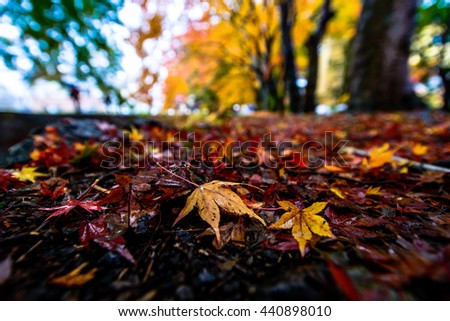 Fallen Maple Leaves at Maple Corridor - stock photo