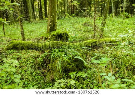 Fallen tree covered with moss in Bialowieza nature reserve, Poland - stock photo