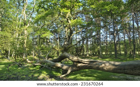 Fallen Tree in forest glade, New Forest