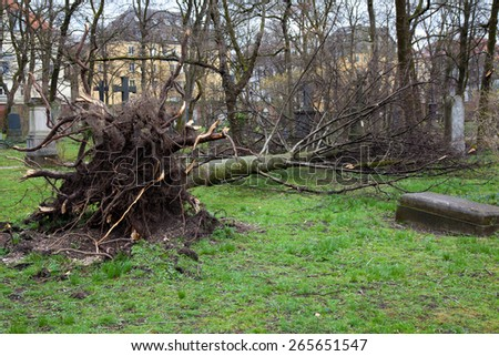 fallen tree on cemetery. roots are visible.