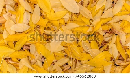 Fallen yellow autumn leaves. Background, texture. The life cycle of nature