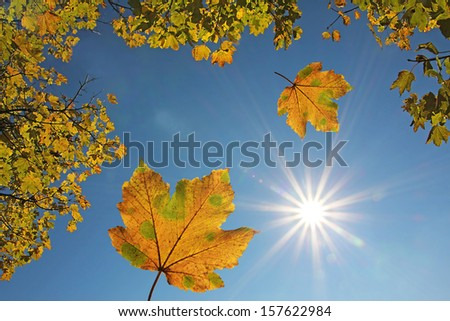 falling maple leaves in autumn, view from bottom up - stock photo