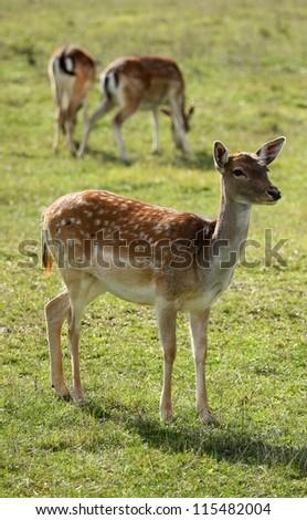 fallow-deer - stock photo